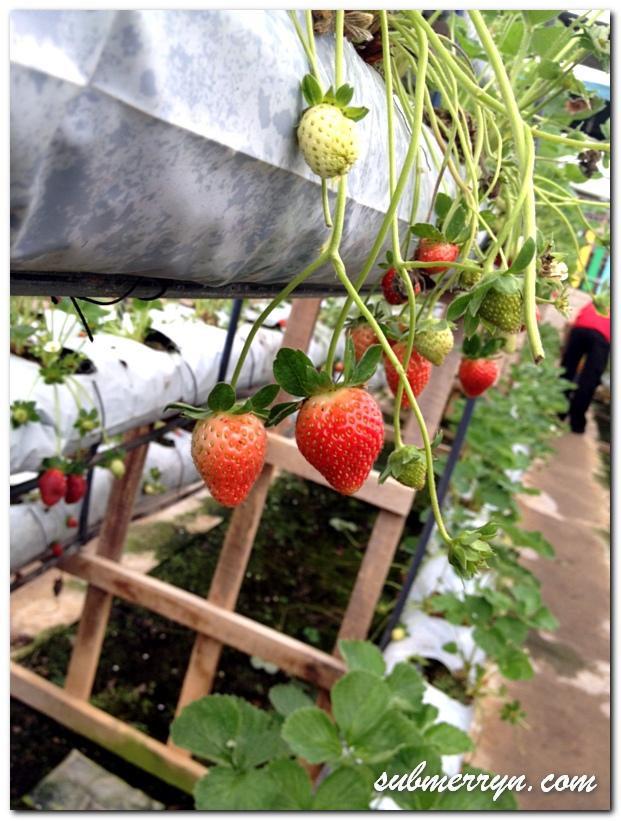 Strawberry Park Genting_4