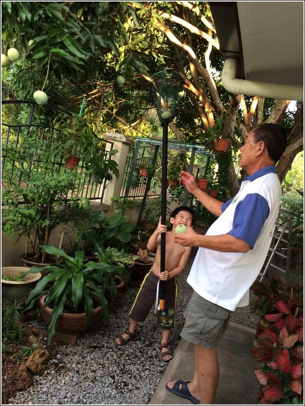 plucking home grown mango