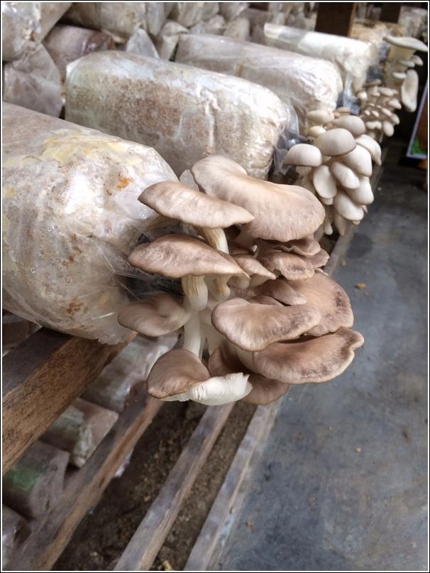Mushroom farm gotong