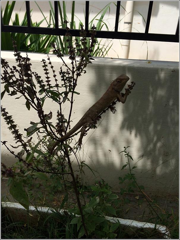 Malacca gecko