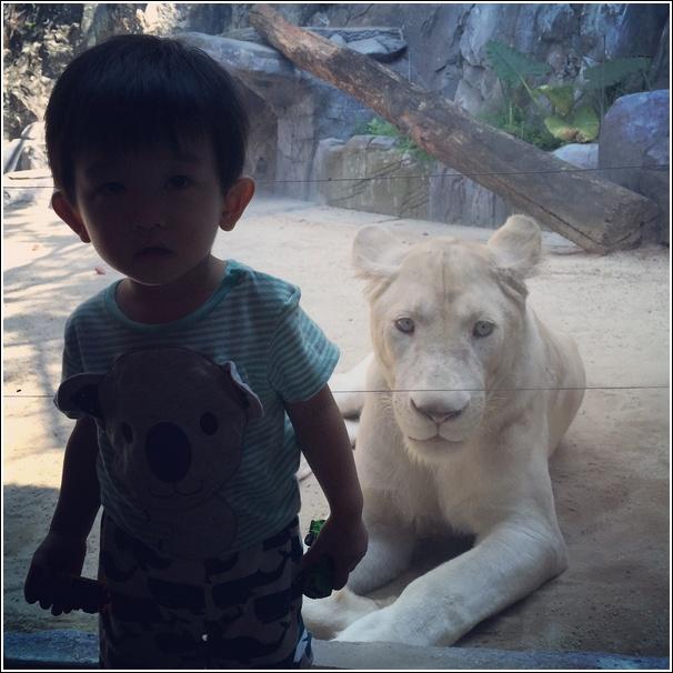 Sunway Lagoon Wildlife Park White Lion 1