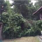 fallen mango tree after rain