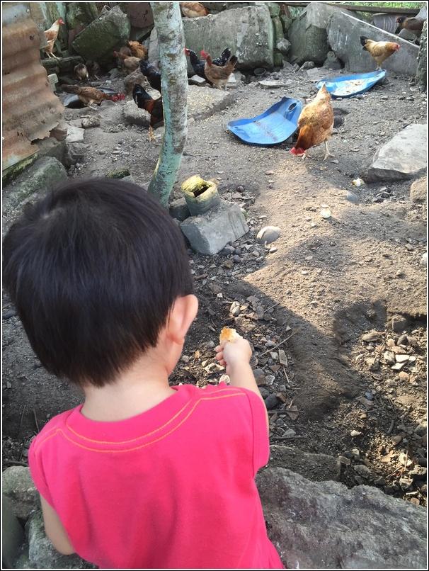 ayam kampung eat what
