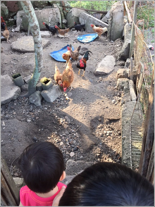 feeding ayam kampung